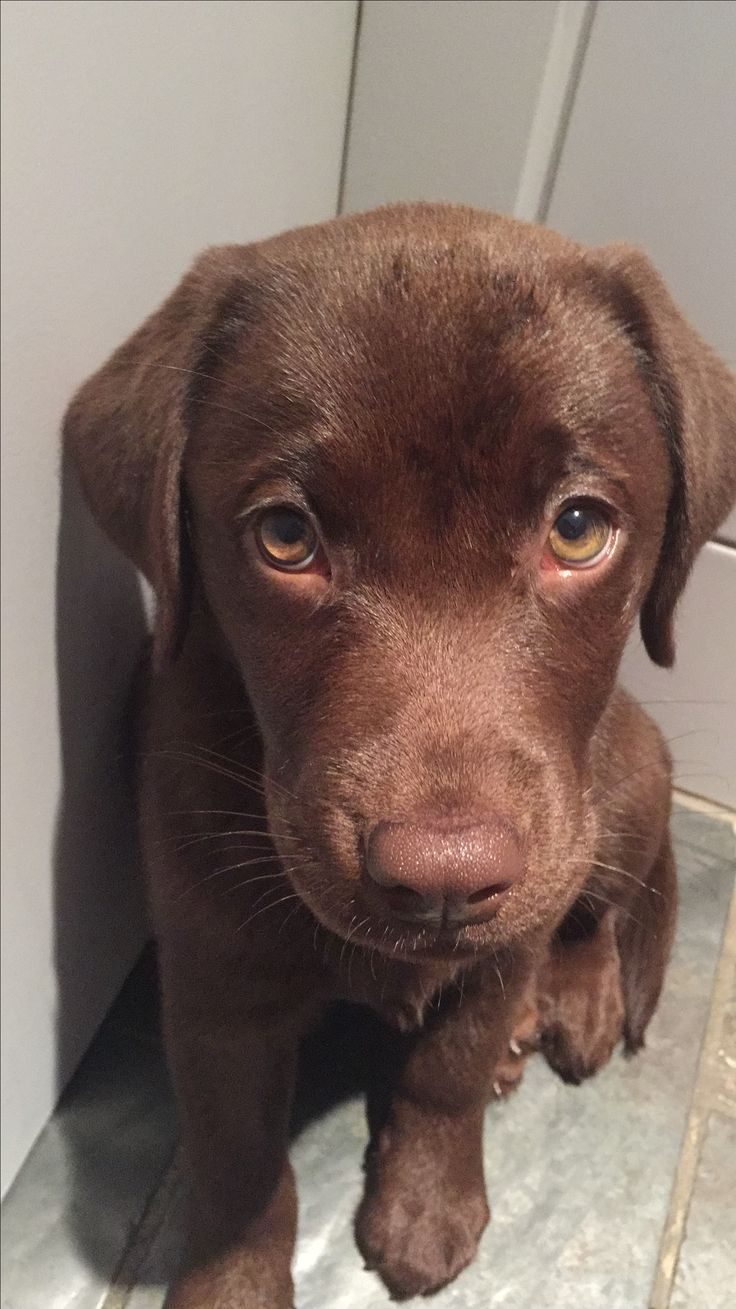 Thoughtful Looking Chocolate Lab Puppy Susse Tiere Susse Baby
