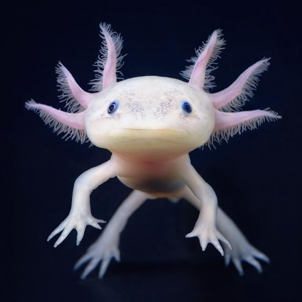 Image of: Deep Weird But Very Cute Sea Creature Called Axolotl Posted By Greg In The Animals Category Pinterest Pin By Connie Limon On Sea Animals Animals Creatures Sea Creatures