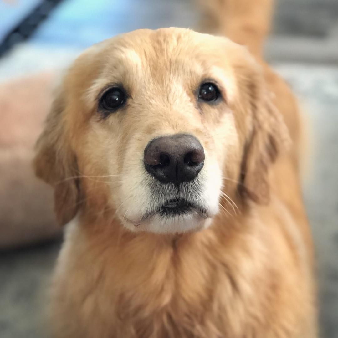 Brinkley The Golden On Instagram I Can Has A Bite Pwease