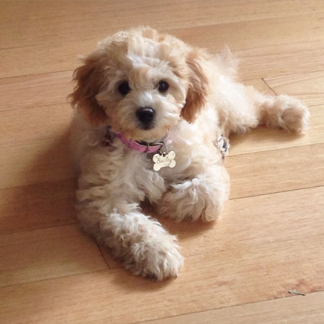 Bailey The Apricot Toy Cavoodle Adorable Puppy Cavoodle