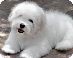 Coton De Tulear Puppies Google Search Coton De Tulear Dogs Coton De Tulear Cute Dogs