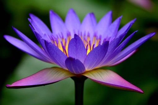What Color Lotus Are You Lillies On The Pond Lotus Flower