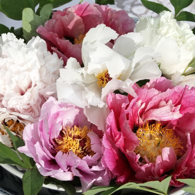 Peony Care Tree Herbaceous Intersectional Good Info On Types Care Maintenance Transplanting You Name It Peony Care Peonies Garden Flower Care