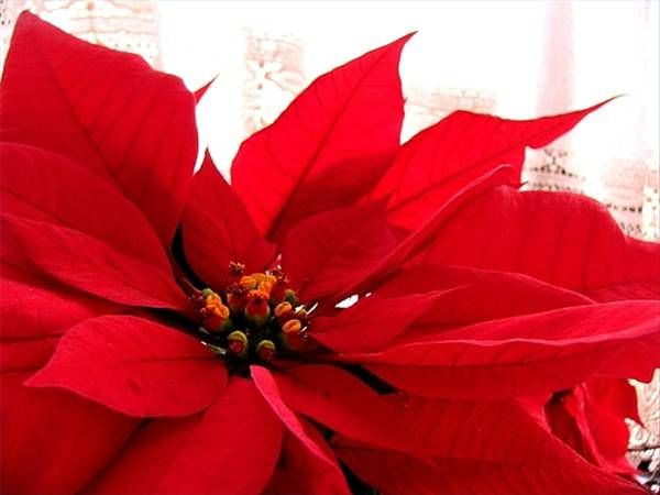 Poinsettas Are Perfect For Holiday Decoration But Are Mildly Toxic To Dogs And Cats Learn More Christmas Plants Poinsettia Flower Poinsettia Plant