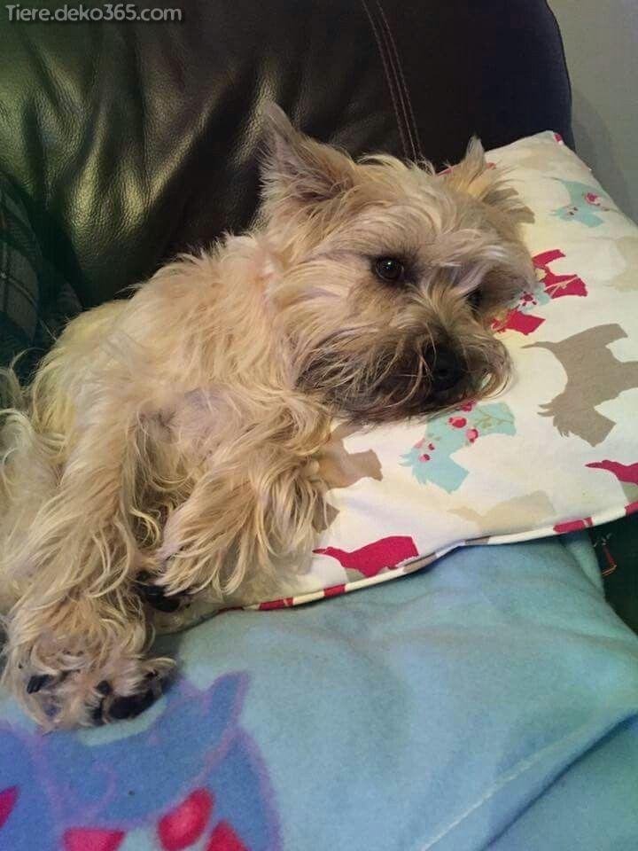 Cairn Terrier Welpen Cairn terrier puppies, Terrier
