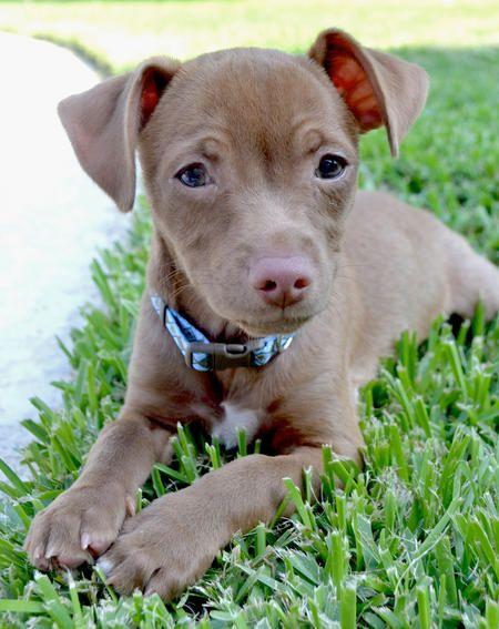 Diego The Chihuahua Mix Puppy Breed Chihuahua Dachshund