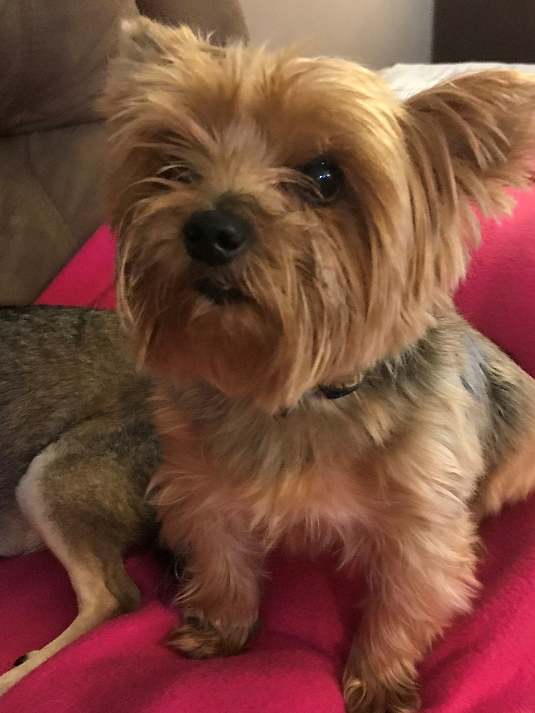 Dante Is An Adoptable Yorkshire Terrier Yorkie Searching For A