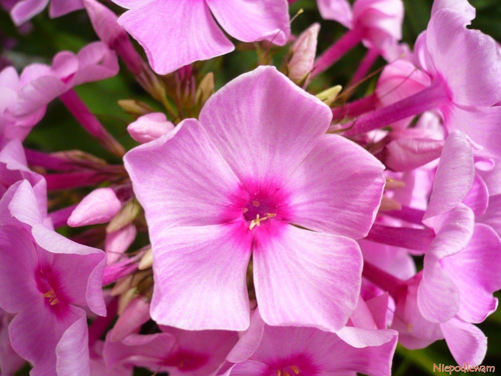 Blog O Ogrodach I Roslinach Doniczkowych Uprawa Porady Nawozenie Choroby Szodniki Plants Flowers Rose