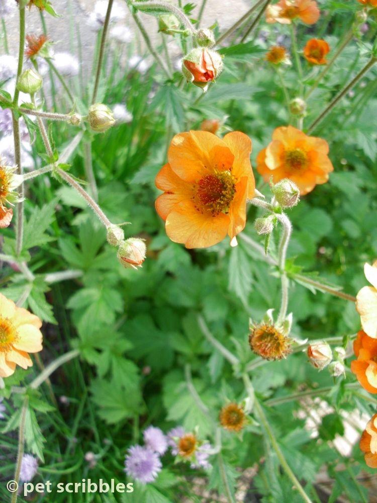 Geum perennial flowers for your garden perennials patio bed and geum perennial flowers for your garden pet scribbles mightylinksfo