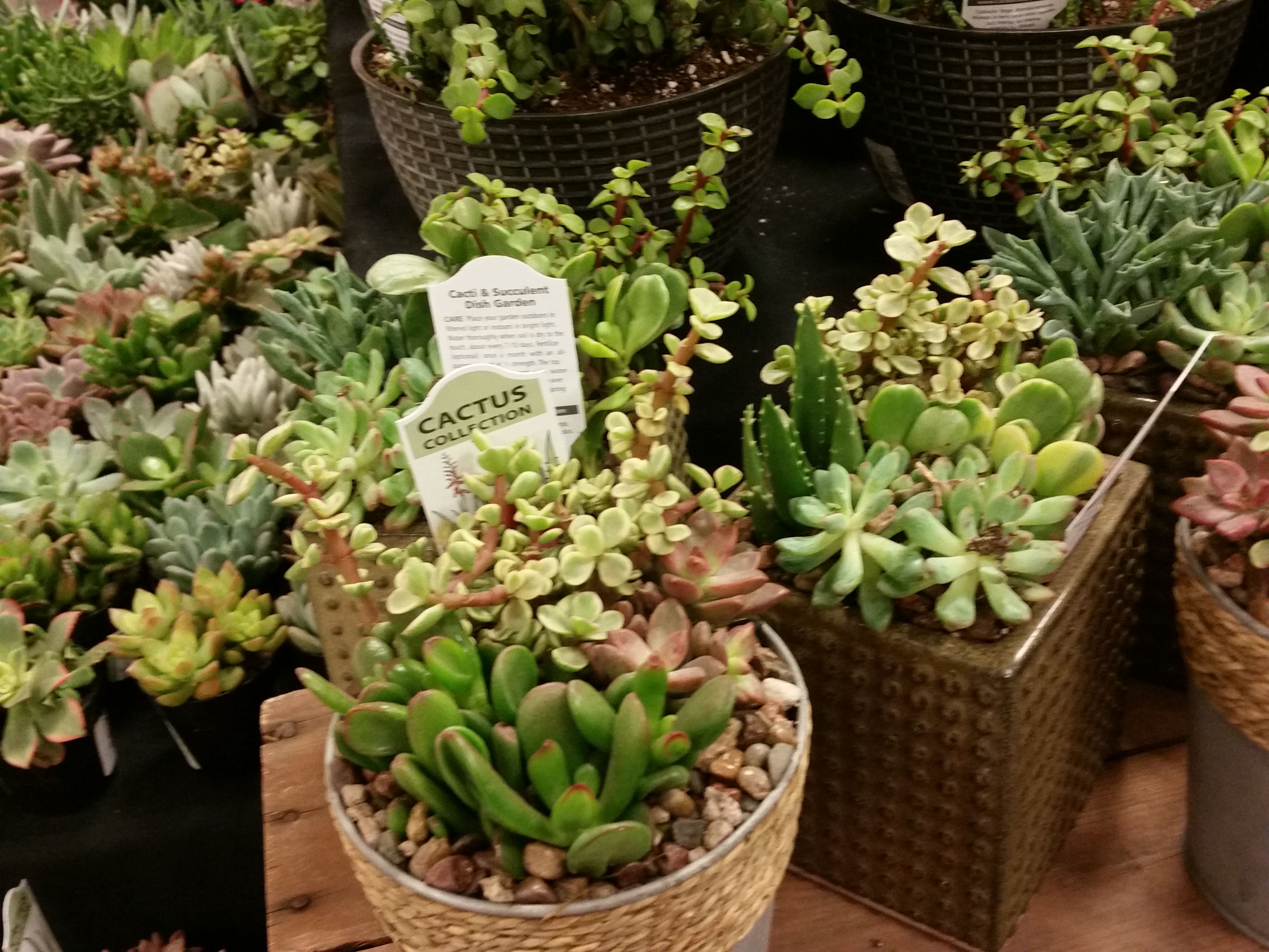 a succulent display at king soopers