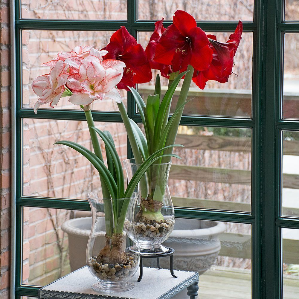 Many Amaryllis grow happily in nothing more than stones