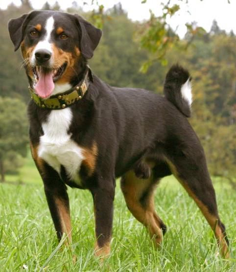 Appenzeller Sennenhunde Dog Breeds Dog Breeds Medium Mountain
