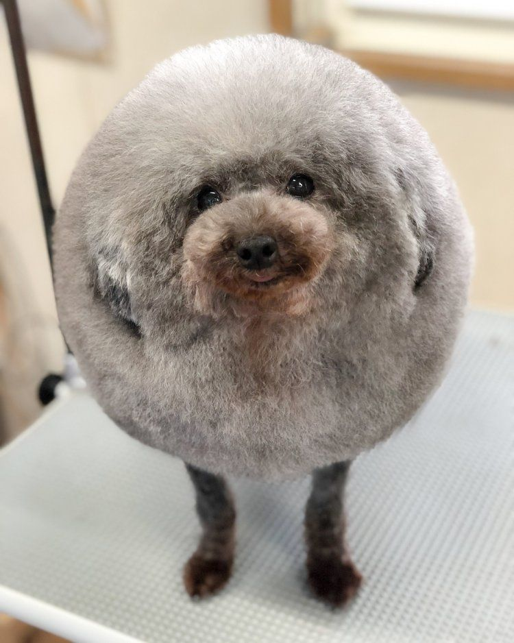 This Fluff Ball Recently Set The Internet Off Dog Groomers Dog Grooming Japanese Dogs
