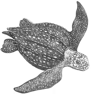 Leatherback Sea Turtle Png Leatherback Turtle Sea Turtle