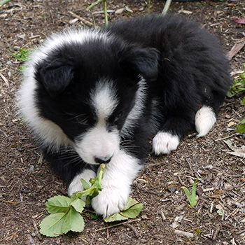 New border collie pup from Mooseys Country Garden