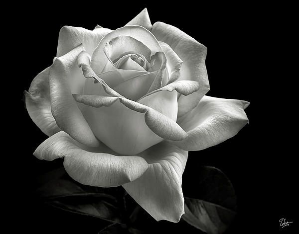 Perfect Rose In Black And White Black White Roses Black White