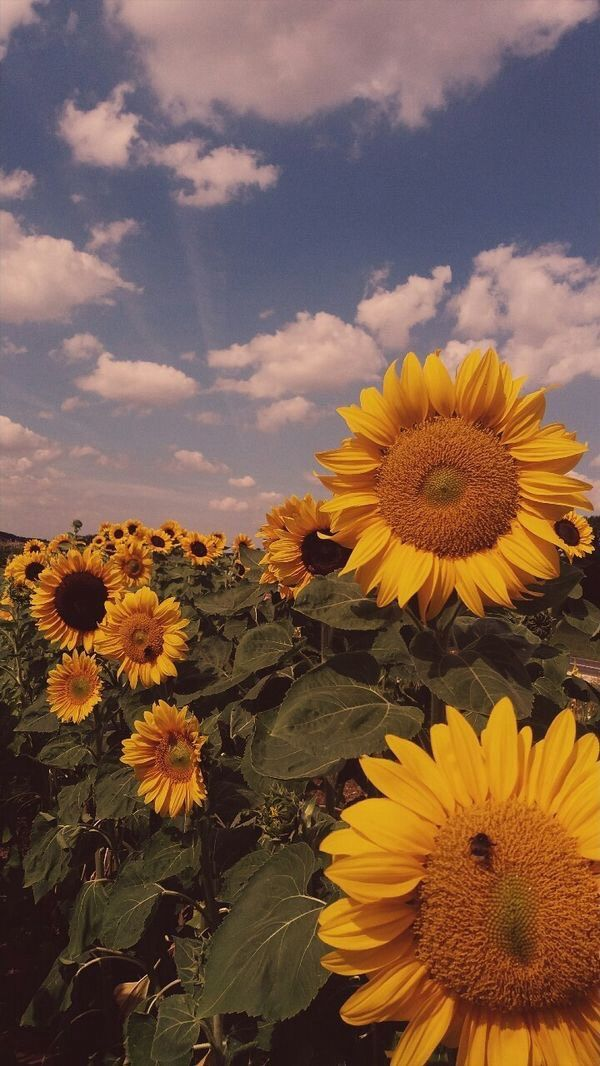 Sunflowers shared by Lucian on We Heart It in 2020 ...