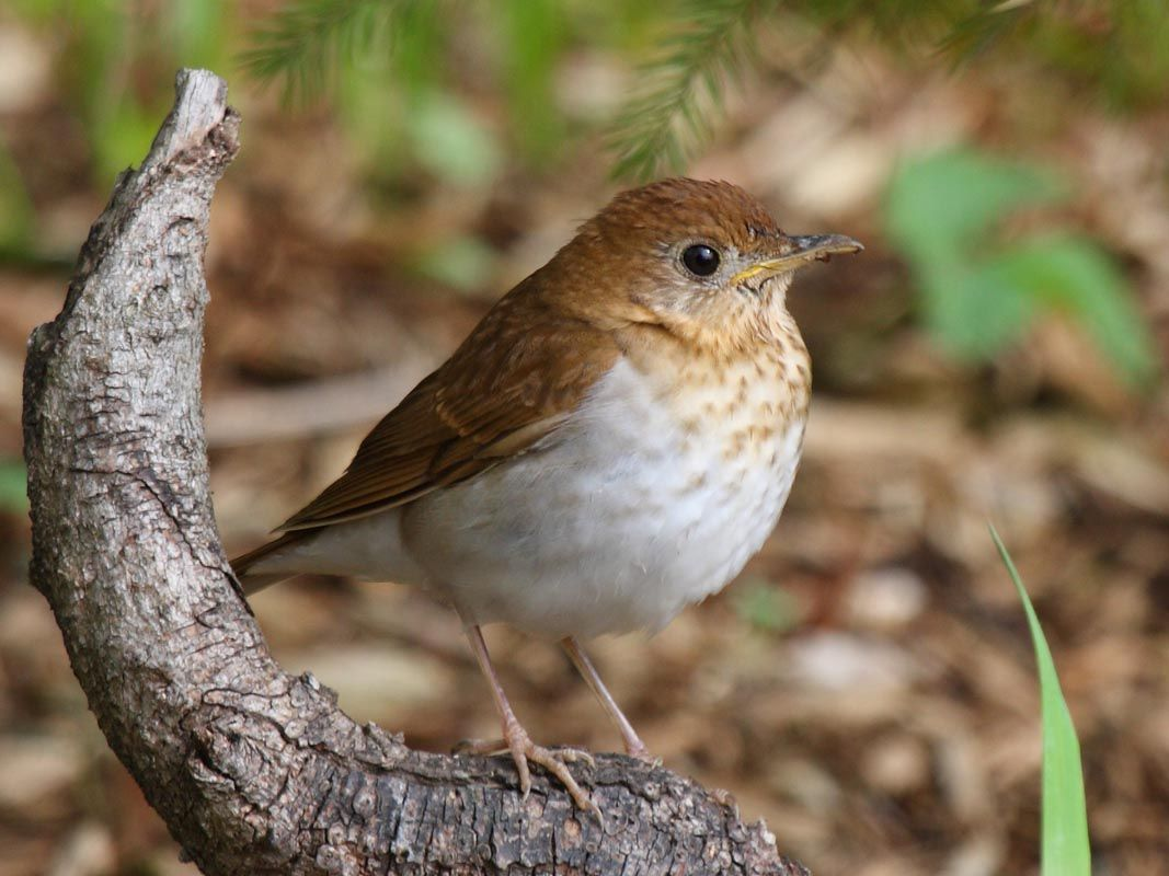 Veery This small forest thrush gets its name from the