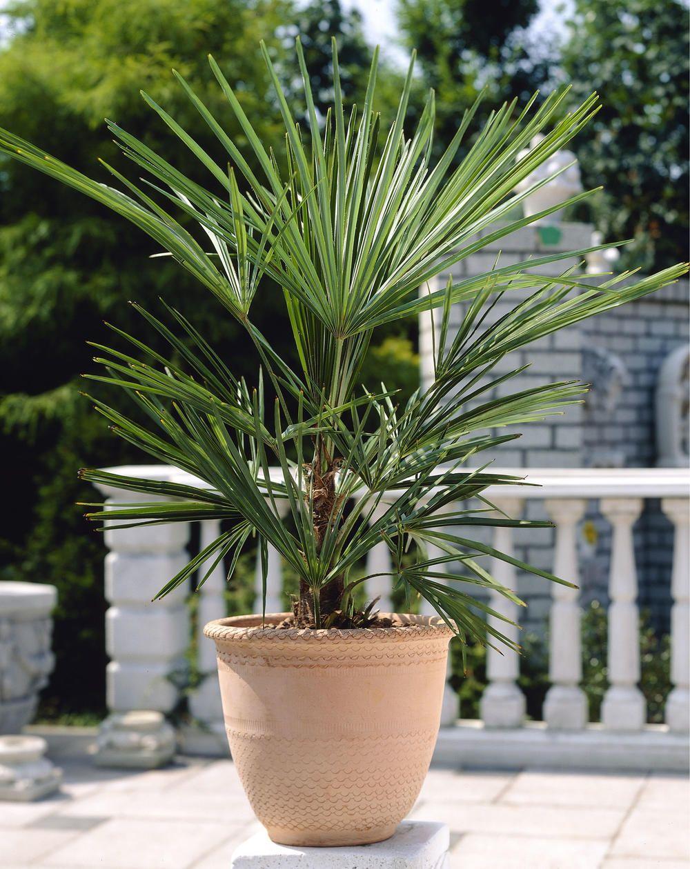 Washingtonia Robusta Die Petticoatpalme Palmen Garten Garten Pflanzen Garten