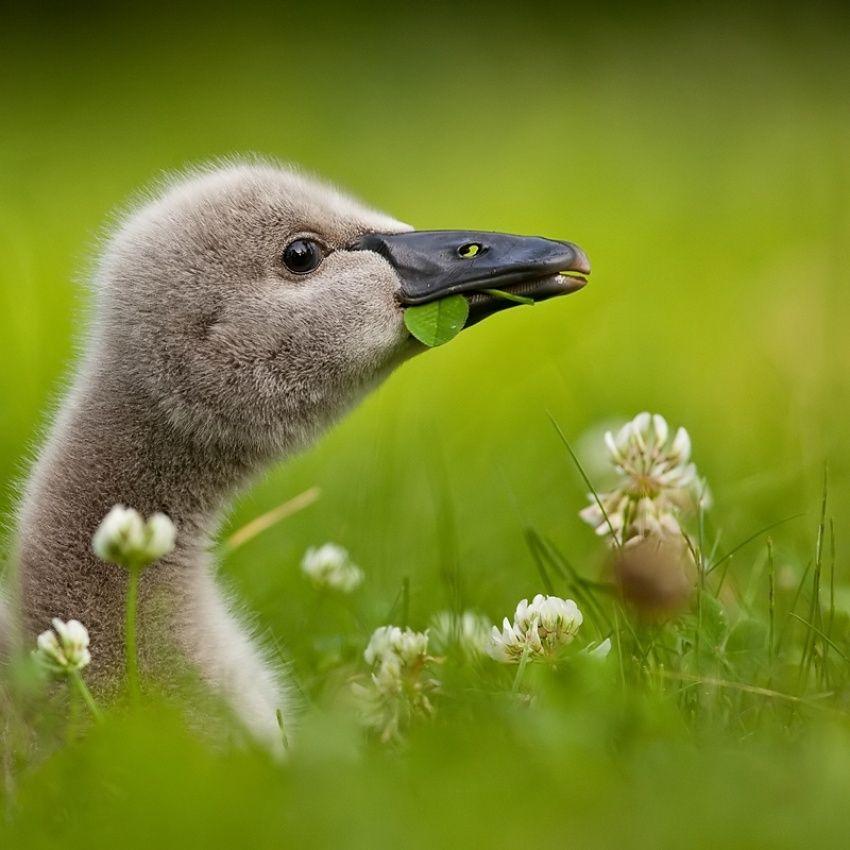 ~~Black Swan Baby (cygnet) by Robert Adamec~~