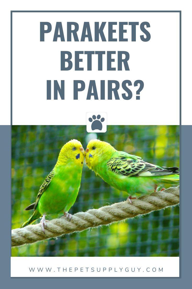 Do parakeets do better in pairs pet birds parakeet