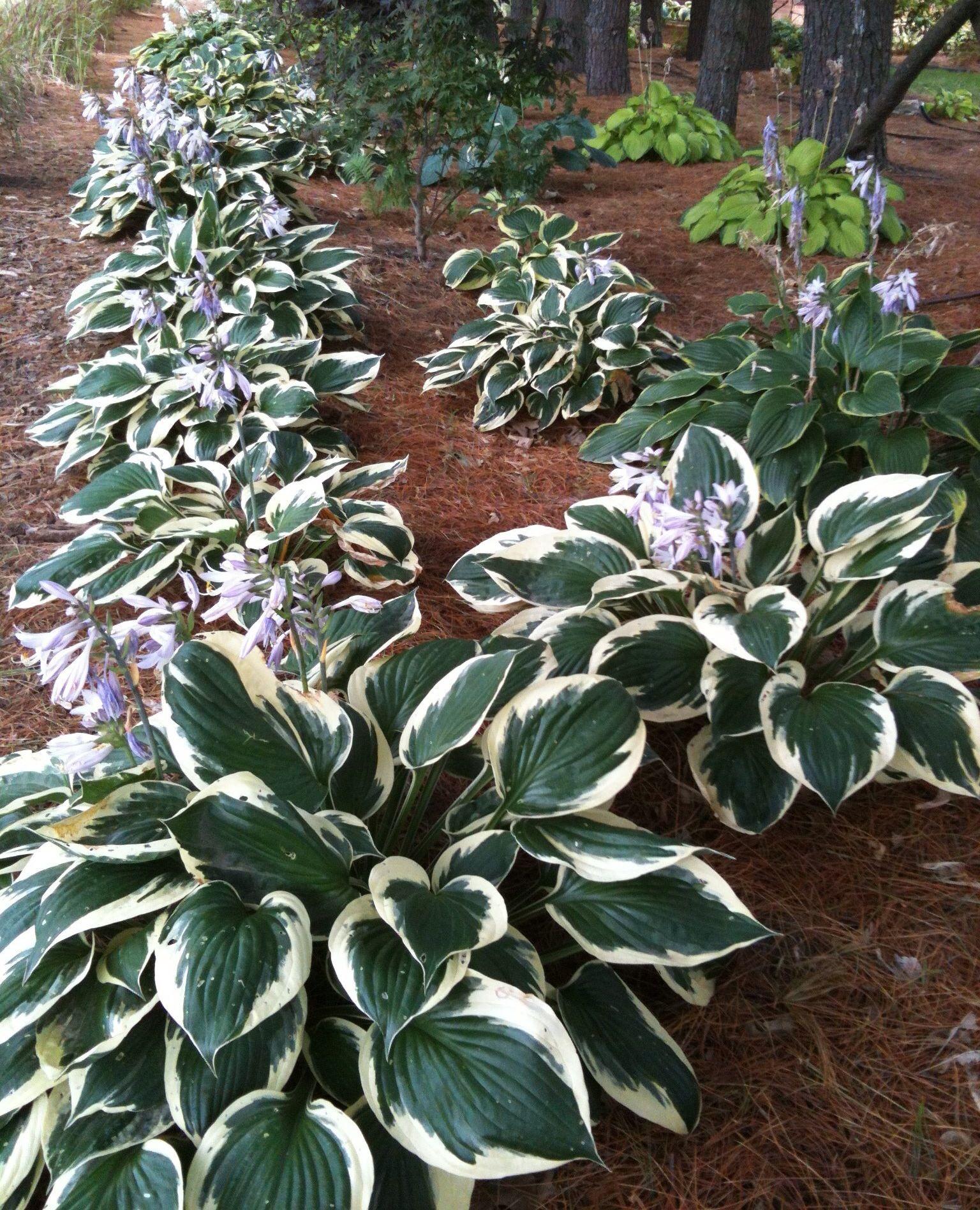 Flower garden ideas for under a tree - Garden Ideas Hosta Under Pine Trees