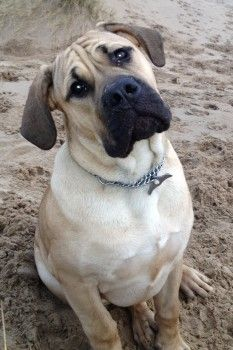 Cairo A South African Mastiff Or Boerboel Was Stolen Out Of Asda