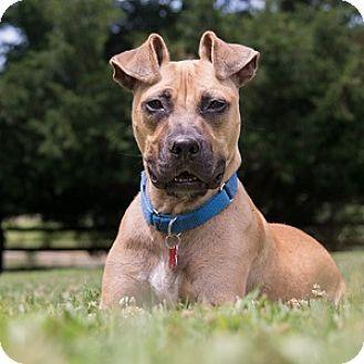 Potomac Md Boxer Greyhound Mix Meet Dexter A Dog For Adoption