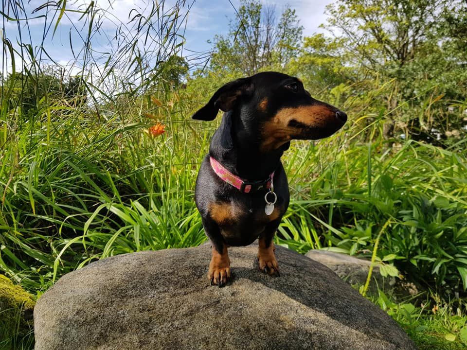 Mabel. Dachshund. On top of the world. Puppies, Top of