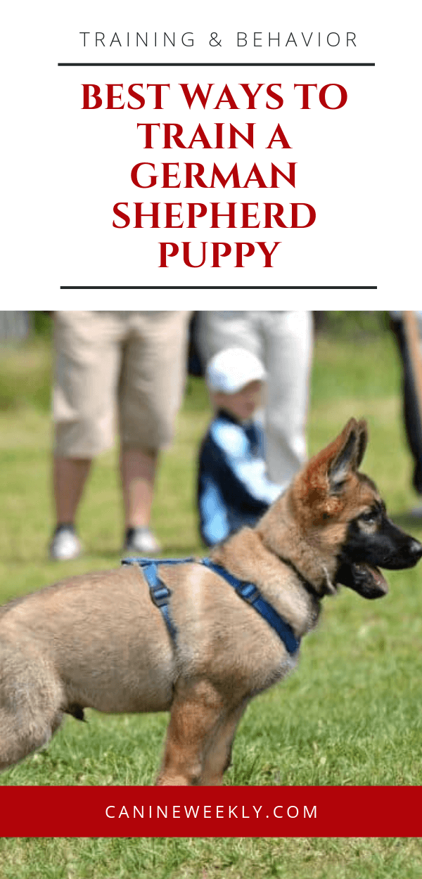 How To Train A German Shepherd Puppy Shepherd Puppies German Shepherd Puppies German Shepherd