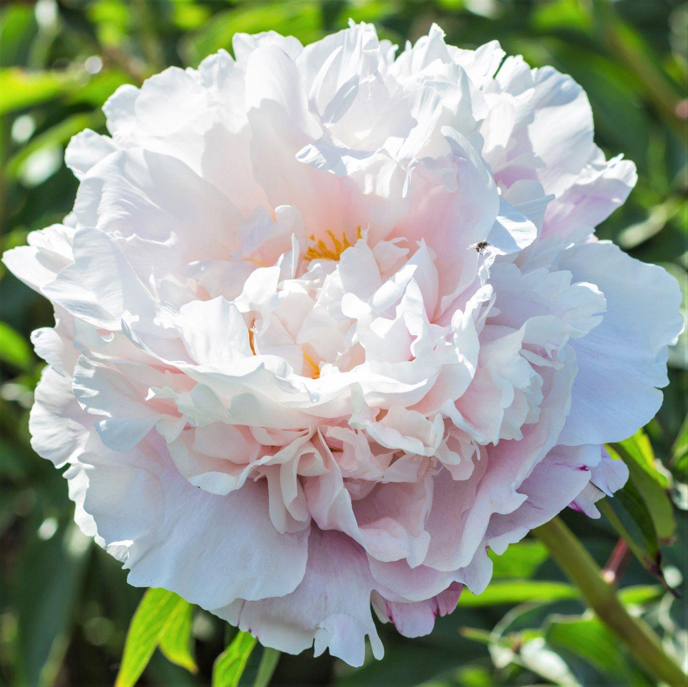 Peony Gardenia Fragrant White Peony Bare Root Peony