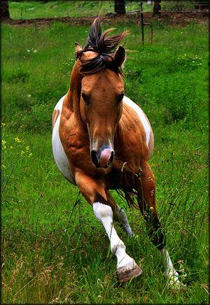 Tri-Colored Paint Quarter Horse Stallion Golden Enchanter