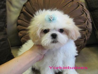 Shizui Cute Little Puppies Teacup Shih Tzu Shih Tzu