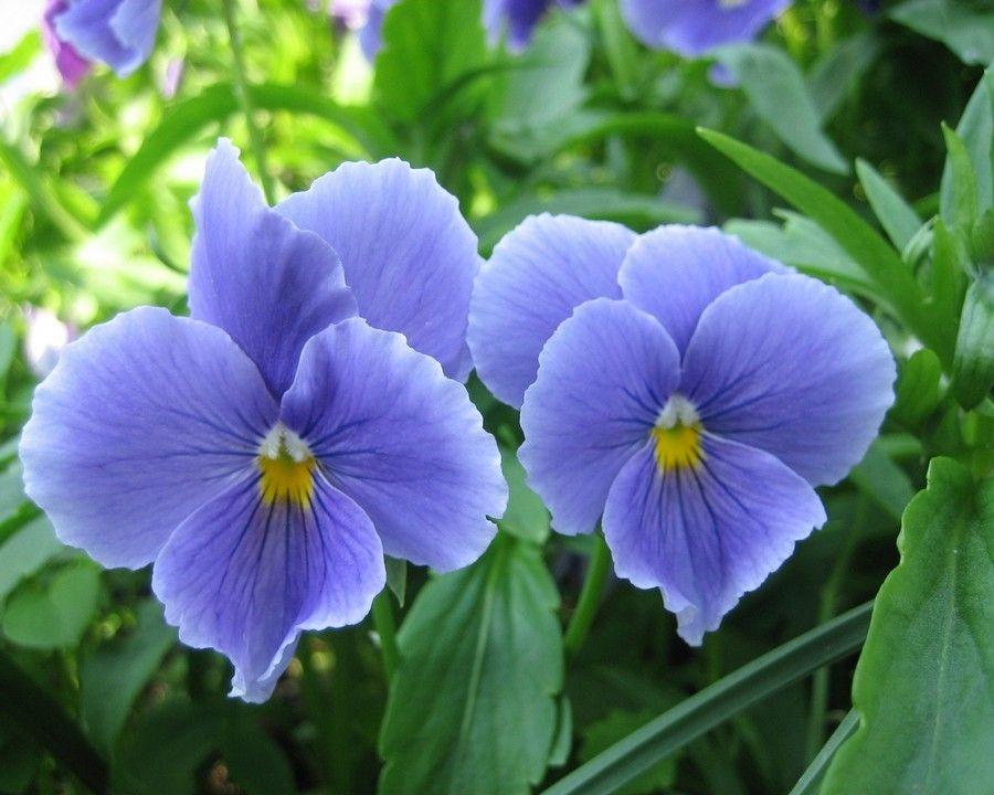 Садовые цветы с названиями (28 фото) | Анютины глазки ...