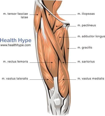 Quadriceps Upper Leg Muscles Muscle Diagram Hip Flexor