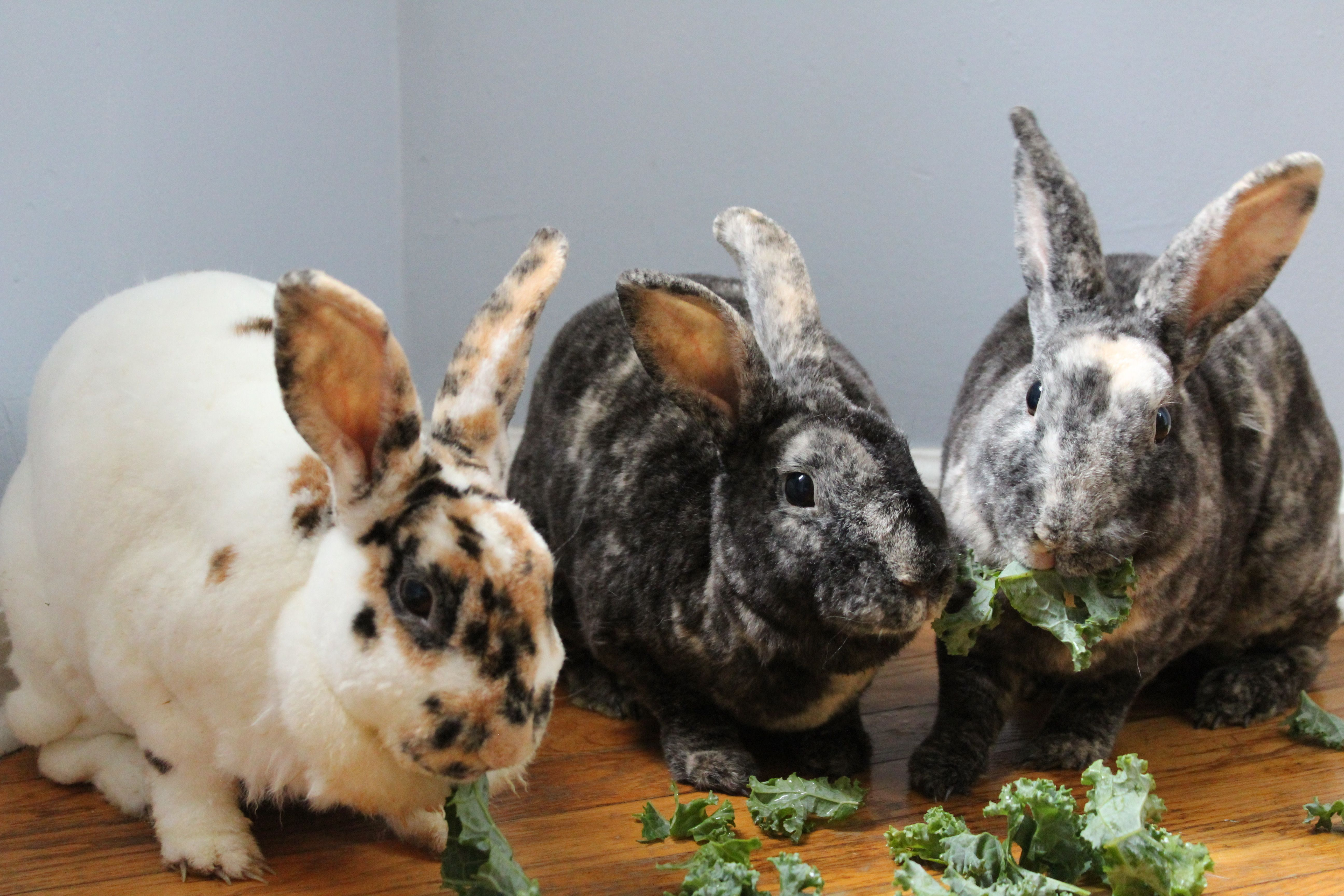 Get To Know All About Rabbits Rescue Inc All About Rabbits Rabbit Pets