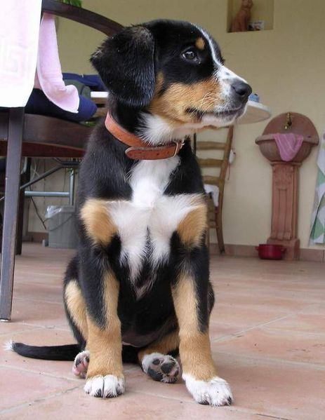 Bernese Mountain Dog X German Shepherd Entlebucher Sennenhund Sennenhund Entlebucher