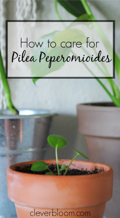 how to care for pilea peperomioides v xter k rlek och blommor. Black Bedroom Furniture Sets. Home Design Ideas