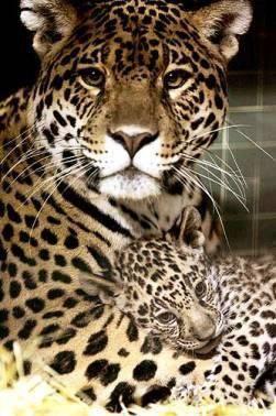 Leopard mama her baby happy mother 39 s day we love mom animals animals beautiful cute - Bebe du jaguar ...
