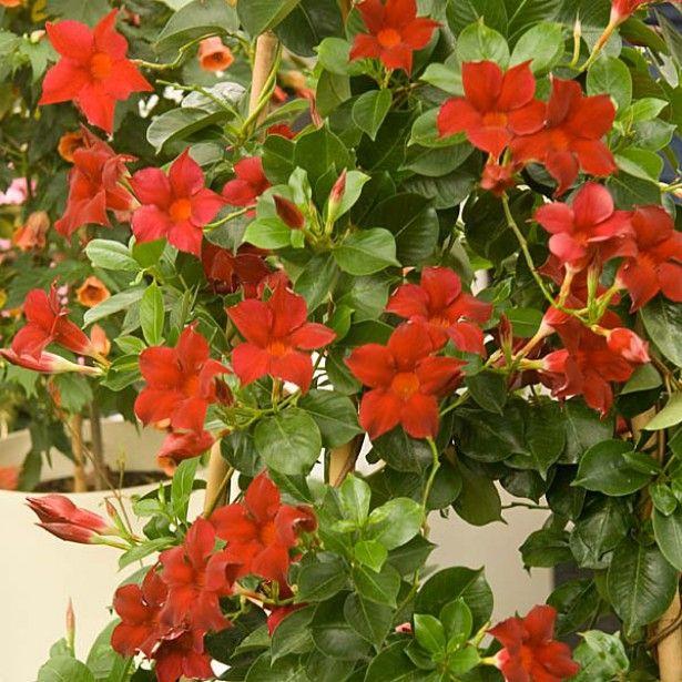diplad nia sundaville mandevilla rouge annuelle mai sept les jardins de ma style. Black Bedroom Furniture Sets. Home Design Ideas