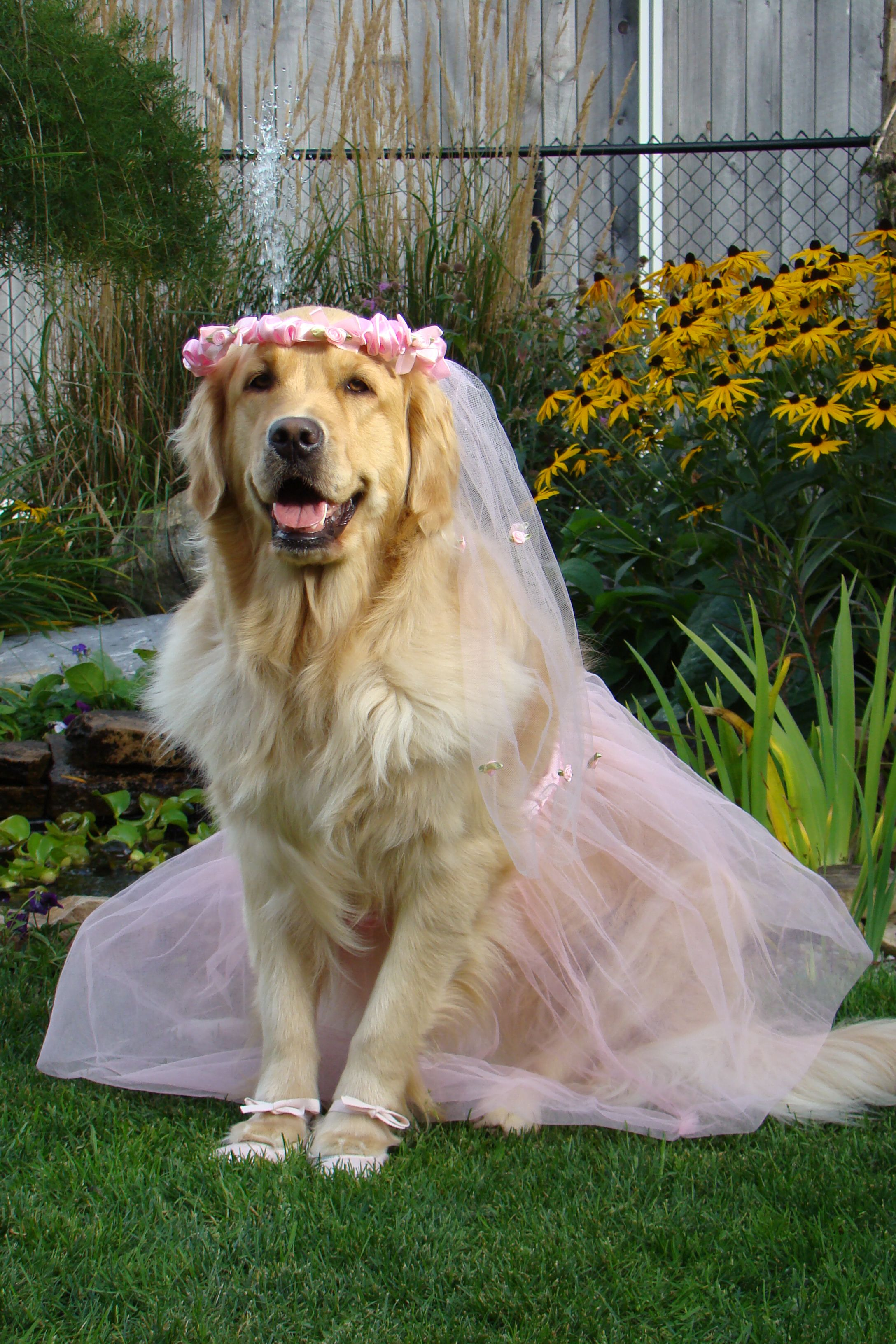 Ballerina Brie Dressed Up For Halloween Dogs Golden Retriever