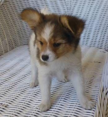PapillonDark Sable/WhiteMale Puppy AKC registered