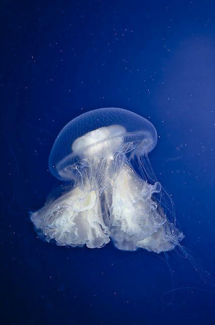 Jellyfish photographed by Indigo Perez.