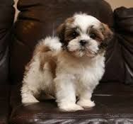 Image Result For Maltese Shih Tzu Mix Add Pomeranian Shih Tzu Puppy Maltese Shih Tzu Shih Tzu
