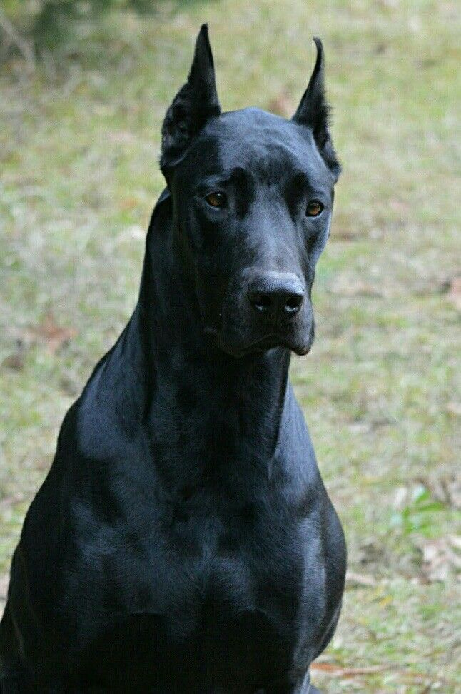 Doberman Great Dane Mix Black Doberman Dog Breeds Black Doberman