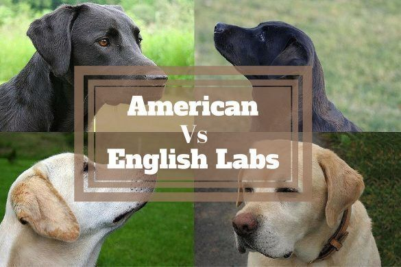 Useful Guide To Know The Difference Between American And English Labradors Labrador Breed English Labrador American Labrador
