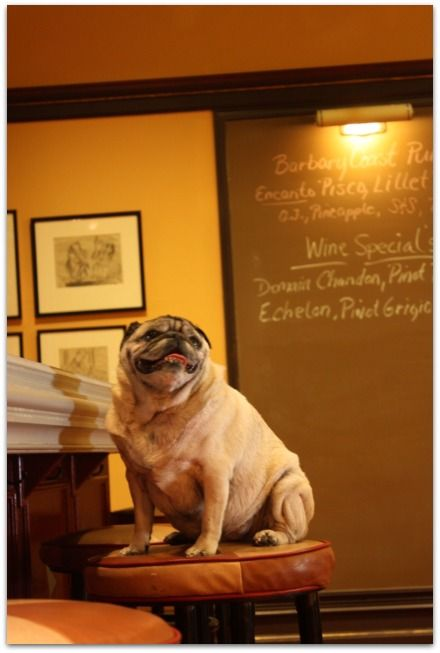 Our Resident Pug Maximo At Hotel Rex San Francisco Pet Friendly