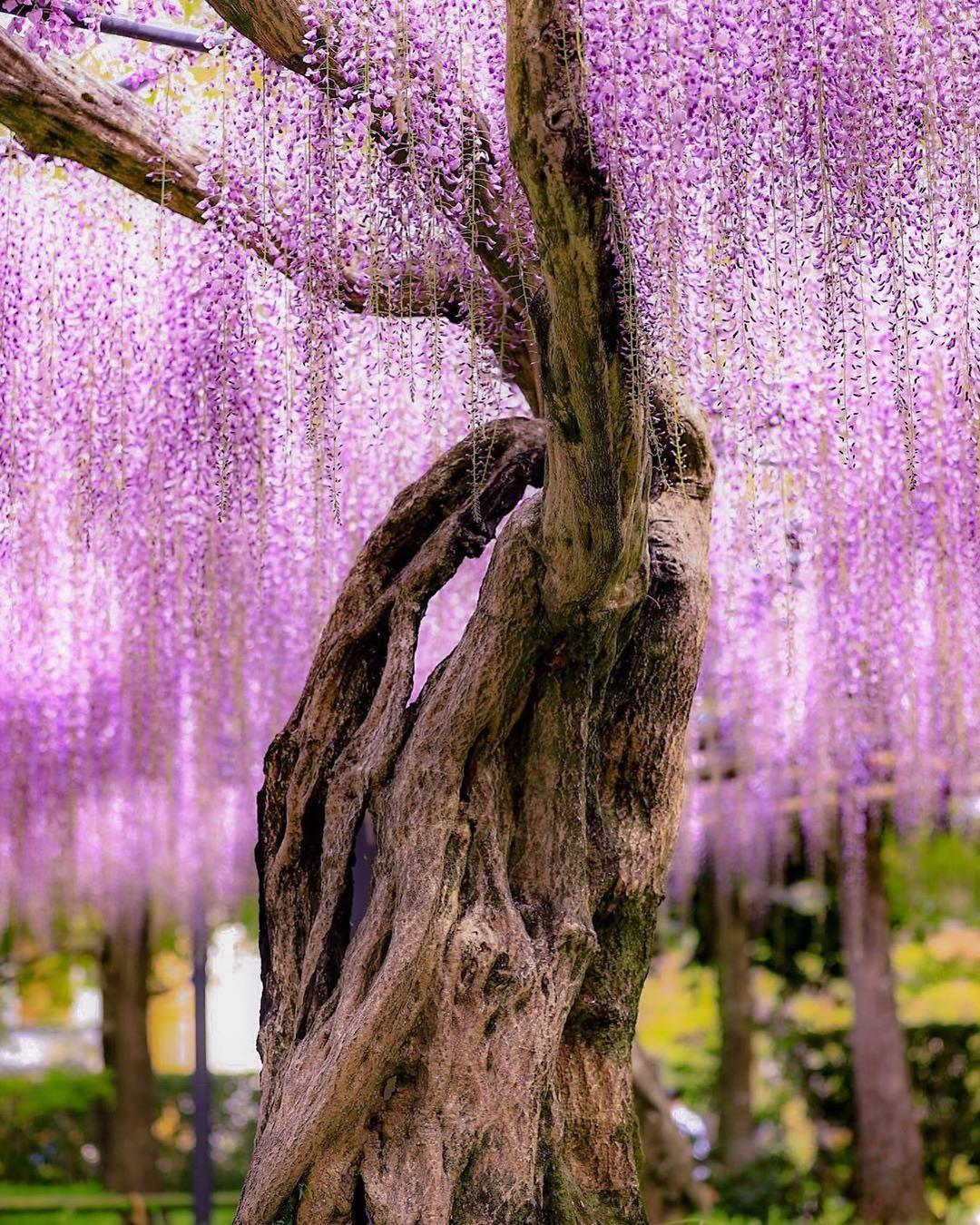 @RETRIP Kyoto: 【RETRIP×京都の藤】 . 今回ご紹介するのは、京都にある「平等院鳳凰堂」です。10円玉でお馴染みの京都の観光名所ですが、毎年4月下旬頃になると藤の花が見頃... - Wacoca