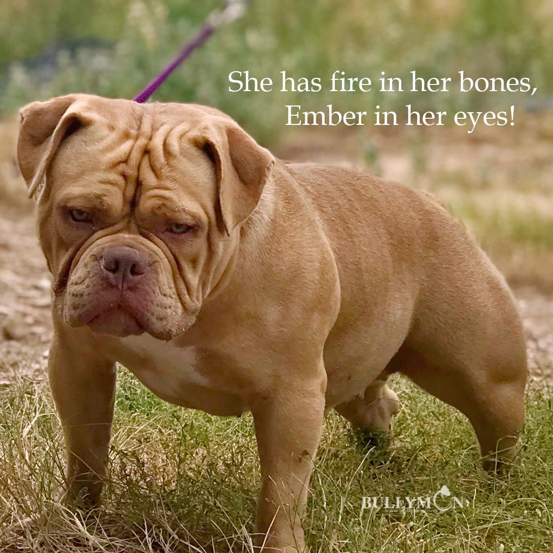 Pin On American Bully Breed