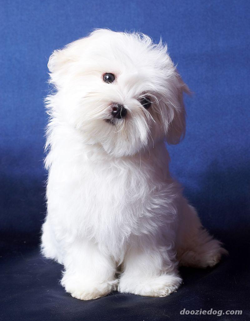 maltese dog maltese_puppy_3 Maltese puppy, Cute